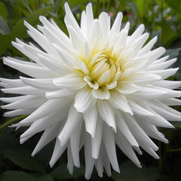 BULBO DAHLIA MY LOVE