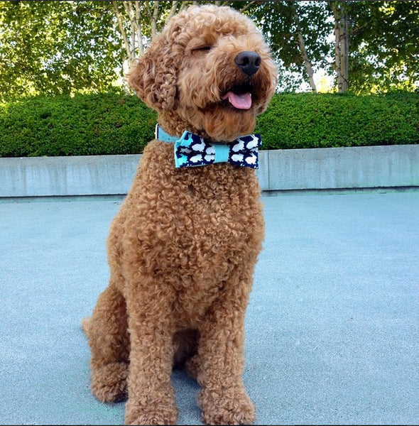 Walle the labradoodle (labrador and poodle) modelling the rabbit bow tie!