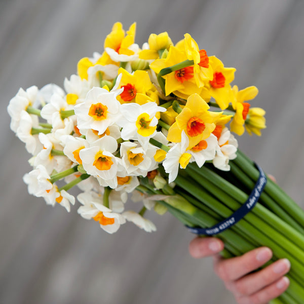 Bouquet of mixed Scented Narcissi, tied with navy blue branded ribbon