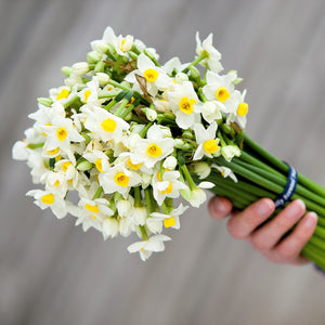 A bouquet of cream scented narcissi, tied with navy blue ribbon.  This cream variety has a pale yellow cup.