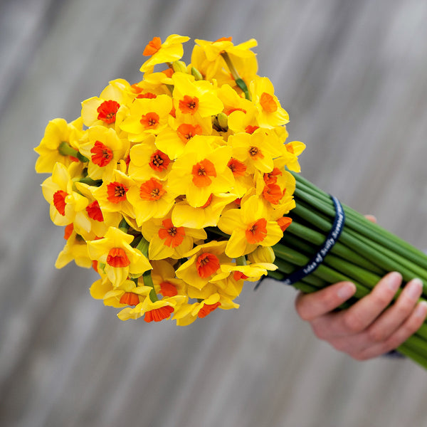 A bouquet of golden yellow narcissi with vibrant orange red cups, tied with our branded blue ribbon