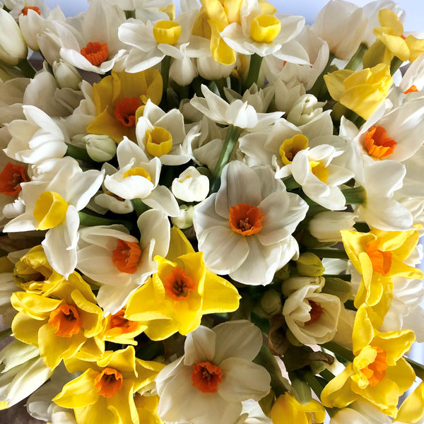 A display of mixed scented narcissi looking at the heads from above