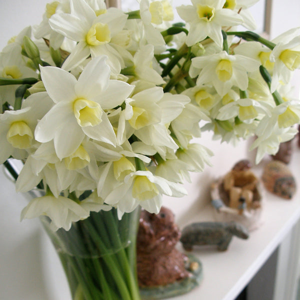 A pretty display of scented narcissi, variety Silver Chime, creamy white petals with creamy yellow cups