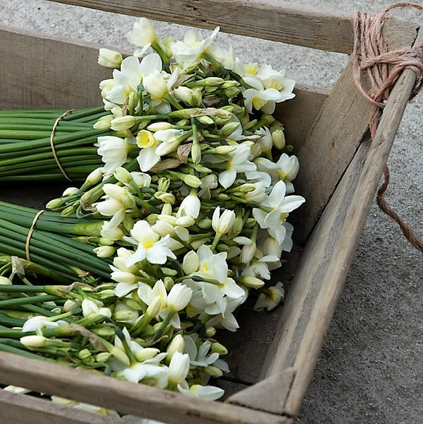 A farm trug of cream narcissi, Silver Chimes.