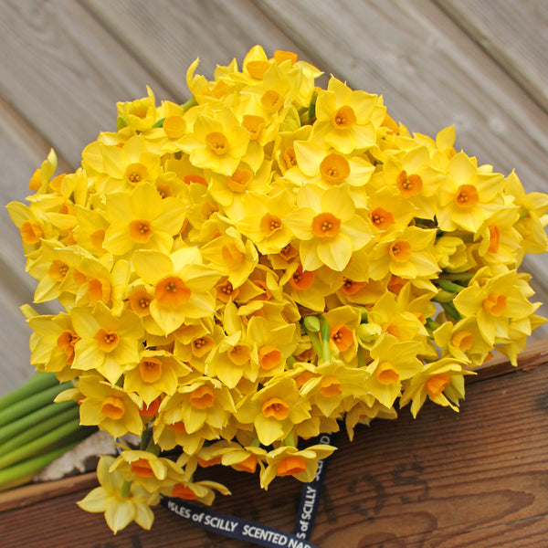 A classic Soleil D'or scented narcissi.  Warm yellow petals with gentle golden cups.  A very neat looking variety