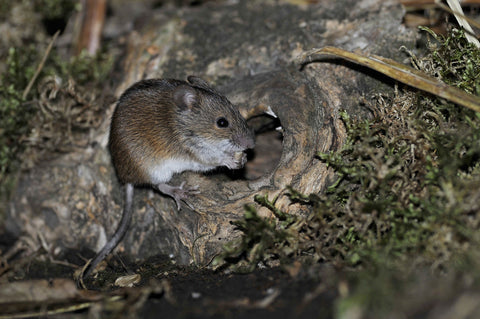 Field mouse, owl prey