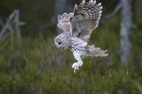 Owl preparing to land