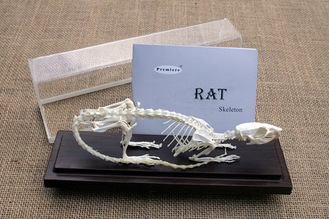 RTS - Real Rat Skeleton