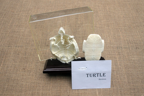 TTS - Turtle Skeleton