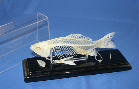 FSK - Fish Skeleton - Species: Carassius carassius