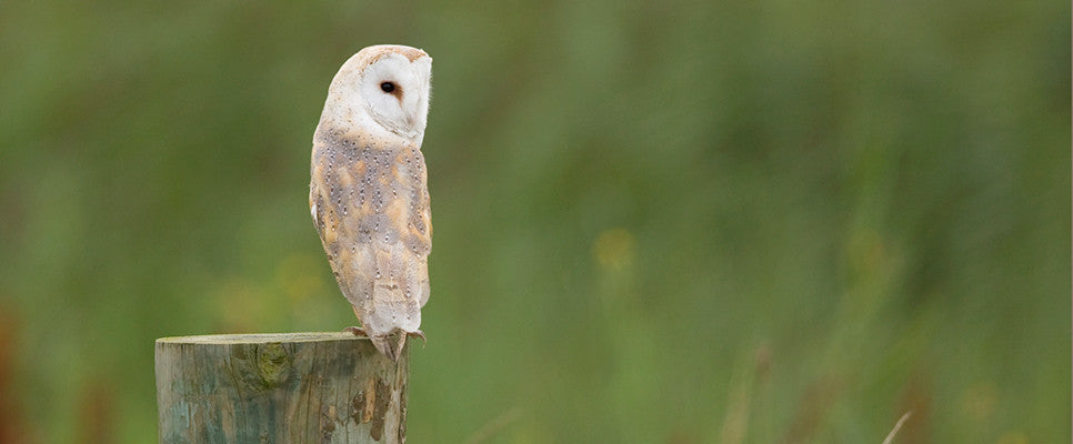 Barn Owl on Stump