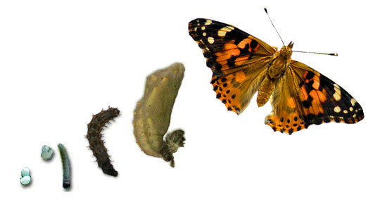 Butterfly Larvae Kits - Please read full description for details