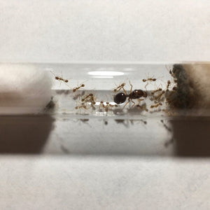 An Aphaenogaster longiceps queen with workers and brood in a test tube.