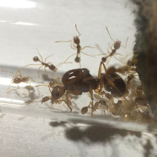 Close up shot of an Aphaenogaster longiceps queen with workers and brood in a test tube.