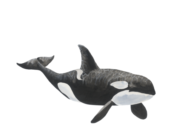 Tilikum the Orca