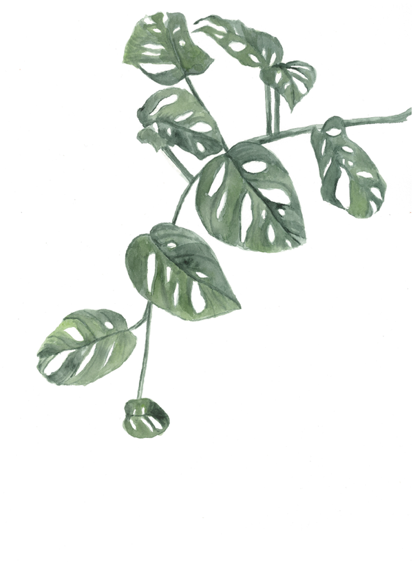 Split-Leaf Philodendron