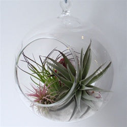 Hanging Bubble Terrarium with Air Plants