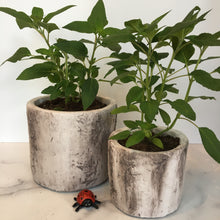 Load image into Gallery viewer, Pineapple Sage in Faux Birch Cement Pots