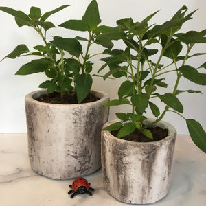 Pineapple Sage in Faux Birch Cement Pots