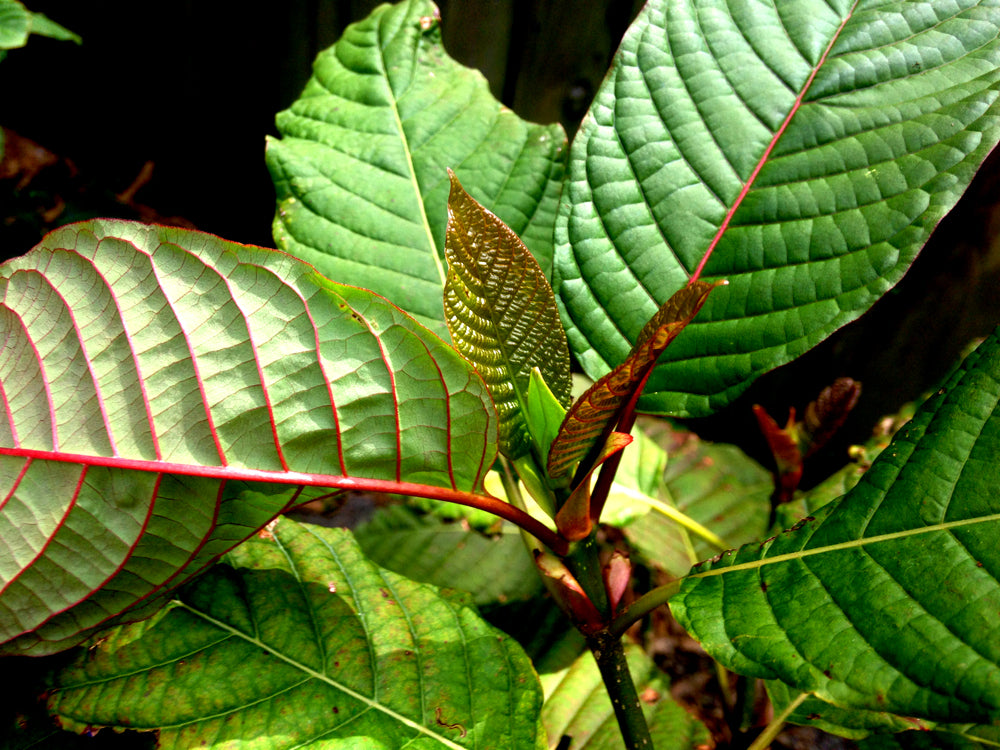 Different Types Of Kratom Strains : How to Grow Kratom?