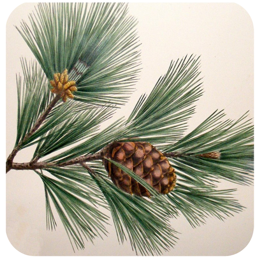 Pine Bough Coaster S/6 - Golden Hill Studio