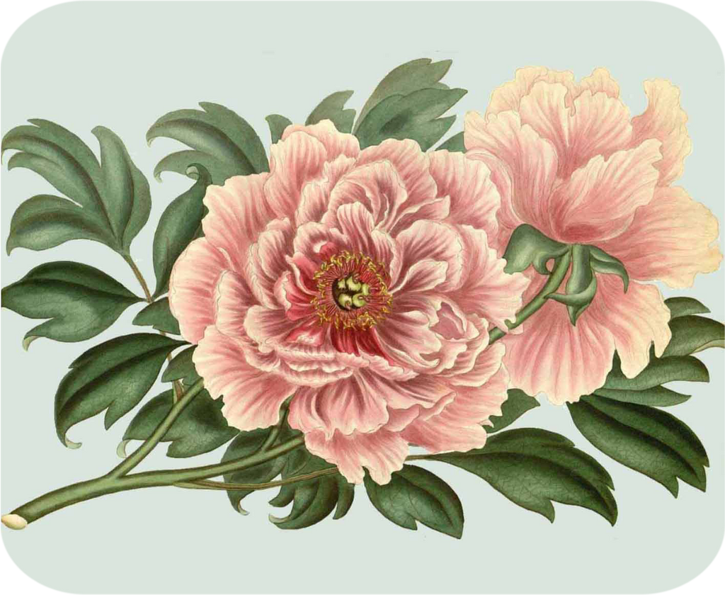 Polynesian Pink Peony Mouse Pad/Hot Plate - Golden Hill Studio