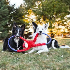Collies with toy in mouth