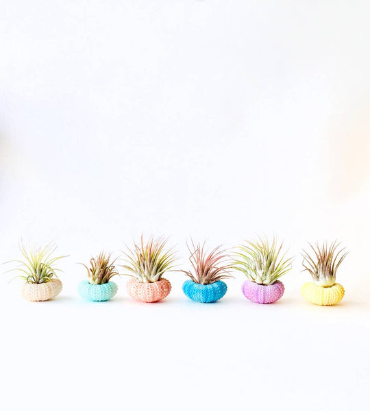 air plant, shell decor, indoor plant