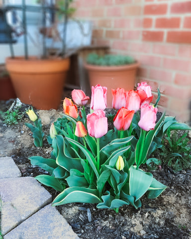 Pink and red tulips growing in garden
