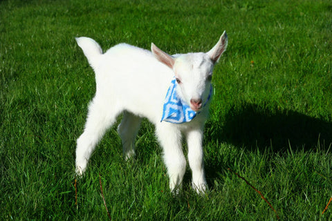 Baby Goat - Blue 2