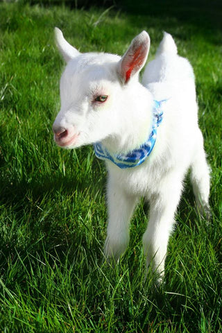 Baby Goat - Blue 1