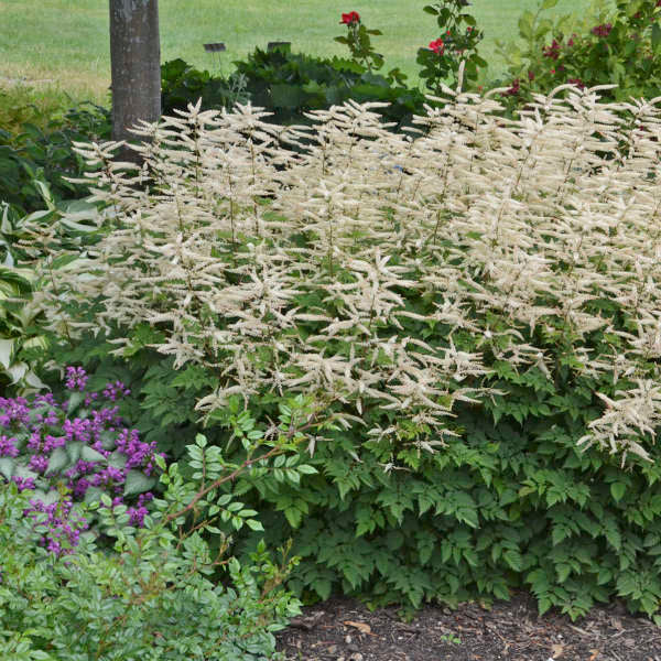 Aruncus 'Misty Lace' (Goat's Beard) 1.5 gallon