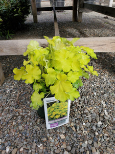 Heuchera (Coral Bells) 'Lemon Love' 1.5 gal