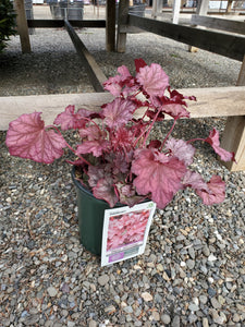 Heuchera (Coral Bells) 'Berry Smoothie' 1.5 gal
