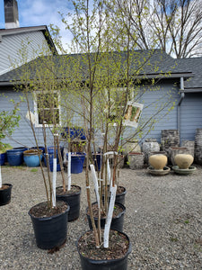 Betula (Birch) 'Dura Heat' clump 15 gal