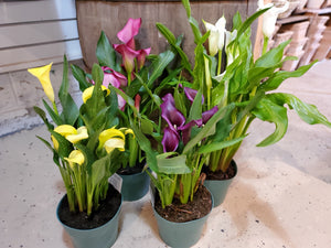 Calla Lily, assorted 6""