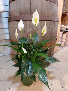 Peace Lily 6""