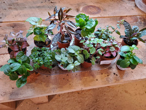 Foliage Plants, assorted 2""