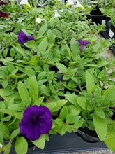 Load image into Gallery viewer, Wave Petunias 4.5""