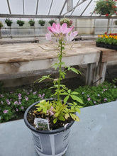 Load image into Gallery viewer, Cleome Grower's Choice 4.5""