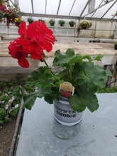"Load image into Gallery viewer, Geranium 4"" Growers Choice"