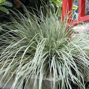 Carex oshimensis 'EverColor® Everest' (Variegated Sedge) 1.5 gallon