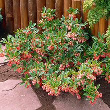 Load image into Gallery viewer, Enkianthus campanulatus 'Red Bells' (Red Bells Enkianthus) 3 gallon