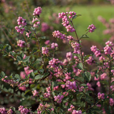 Symphoricarpos First Editions® 'Candy' (Candy snowberry) 3 gallon