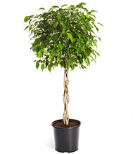 Load image into Gallery viewer, Ficus benjamina