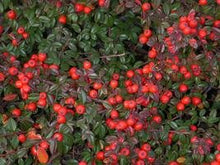 Load image into Gallery viewer, Cotoneaster adpressus 'Little Gem' (Creeping Cotoneaster) 2.5gallon