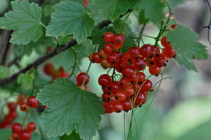 Red Currant, Red Lake