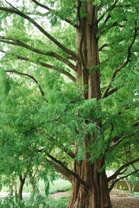 Metasequoia glyptostroboides (Dawn Redwood) 15 gallon