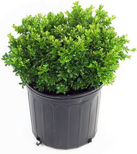 Buxus microphylla 'Tide Hill' (Boxwood) 2 gallon