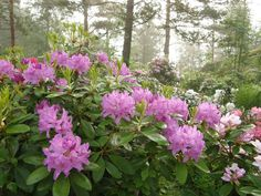 Rhododendron catawbiense 'Boursault' 3 gallon